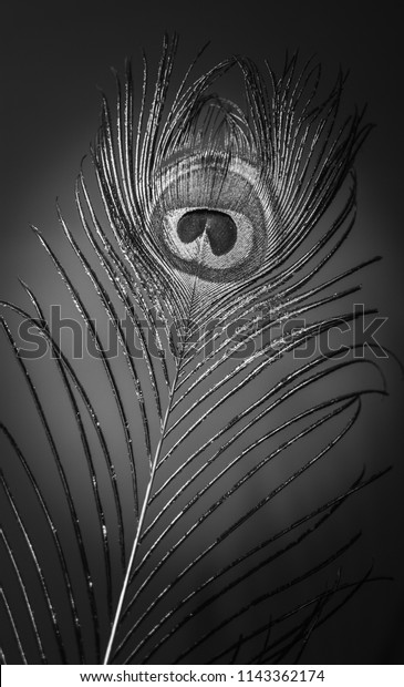 Black White Peacock Feather Wallpaper Stock Image Download Now