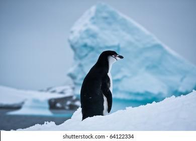 black and white penguin on the white snow