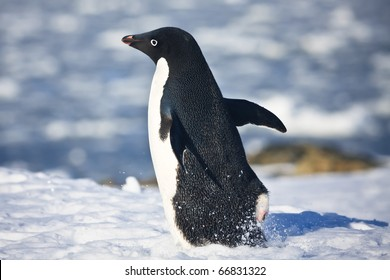 black and white penguin running on the white snow in Antarctica