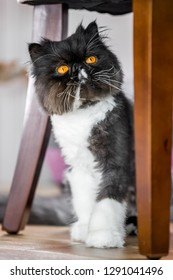 Black and white Persian cat siting on a wooden floor looking round a table leg. A persian cat with vivid deep orange eyes. yellow. wooden. rug. hiding. tail. long whiskers. mirror glass