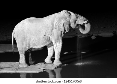 Black and white photo of African elephant, Loxodonta africana, drinking from waterhole against black background. Night photo. Wildlife photography in Etosha national park, Namibia.