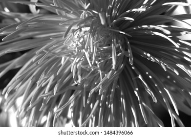 Black and white photo of Aster flower. Abstract background. Asteraceae.