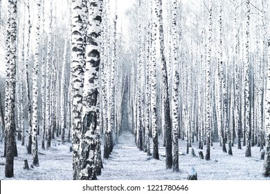 Black and white photo of black and white birches in birch grove with birch bark between other birches