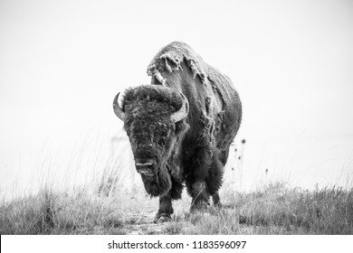 Black and white, photo of bison bull