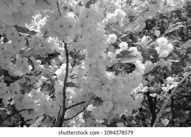 black and white photo of blooming Japanese cherry blossoms