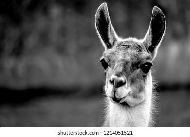 Black and white photo Closeup of beautiful Guanaco Lama guanicoe looking front