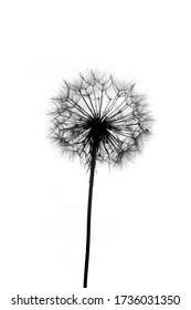 Black and white photo with dandelions.  white isolated background.