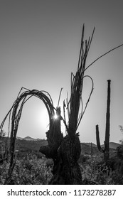 black and white photo of a dead Saguaro cactus with the suns rays silhouetting the exposed Saguaro skeleton.