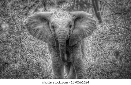 Black and white photo of a elephant calf acting tough in Kruger National Park South Africa