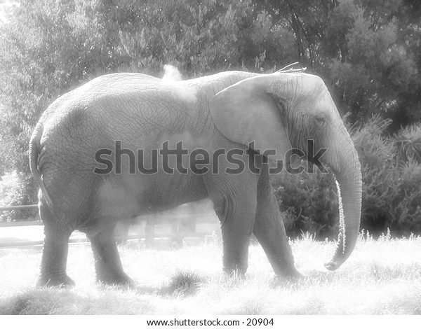 Black and white photo of an elephant walking around in a dusty area.