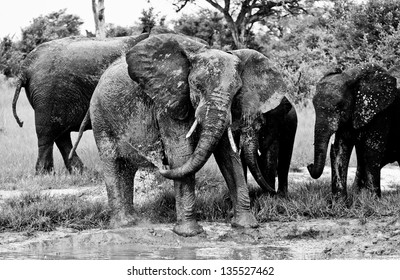 black and white photo of elephants playing in the mud