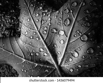 Black and White photo of a fallen leaf. Macro shot with water droplets, high contrast, and visible leaf structure