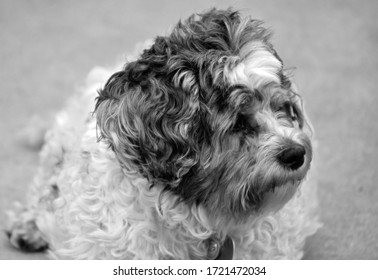 black and white photo of a black and white fluffy dog looking off camera