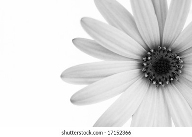 Black and white photo of gerbera. White background