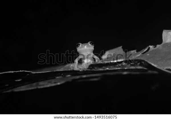 black-white-photo-glass-frog-600w-149351