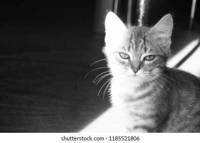 Black and white photo of a gray kitten. Contrast photo with narrow beam. Black background, bright highlight.