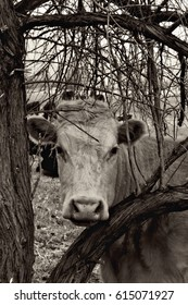 Black and white photo of the head of a cow, staring at you