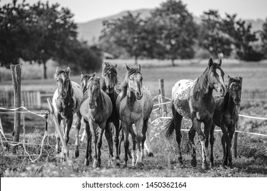 Black and white photo of herd of appaloosa foals