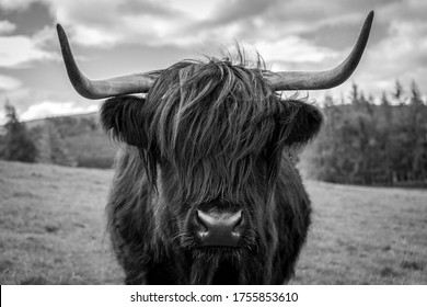 Black and white photo of a highland cow in the Scottish countryside.