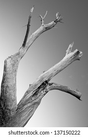 Black and white photo of large dead tree trunk of driftwood set against a clear sky.