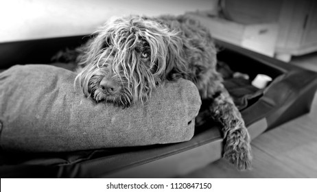 black and white photo of a lying down pudelpointer