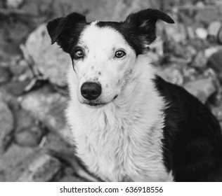 A black and white photo of Nelly, my brown and white Border Collie