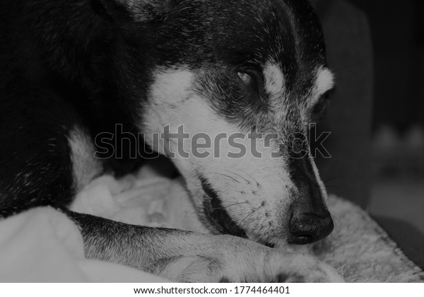 black and white photo of an old dogs face close up showing a white muzzle