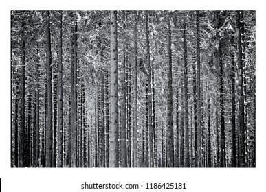 Black and white photo of pine tree forest in winter with snow in the Ardennes, Belgium (medium format, high resolution)