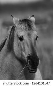 Black and white photo of pony, Cambridgeshire, England, UK, Europe