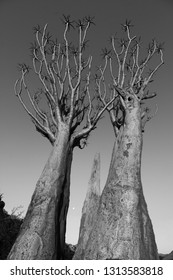Black and White Photo of a Quiver Tree (Aloidendron dichotomum). Located in Springbok, South Africa. Quiver tree are used by bushmen to create quivers for arrows.