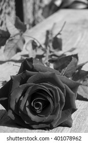 black and white photo red rose. Black and white image of a single flower ranunculus close up on black and white background, Black and white tone of Red rose background.