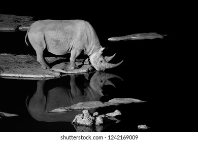 Black and white photo of black rhinoceros, Diceros bicornis, drinking from the waterhole in night. Side view. Rhino is reflected in the water, isolated on black. Endangered animal,Etosha, Namibia.