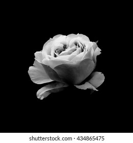 Black and white photo of rose bloom on black background
