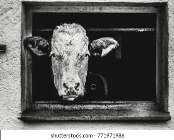 black and white photo showing a cow head watching out of a window