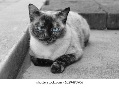 Black and white photo of Siamese cat with blue eyes, lying on cement floor