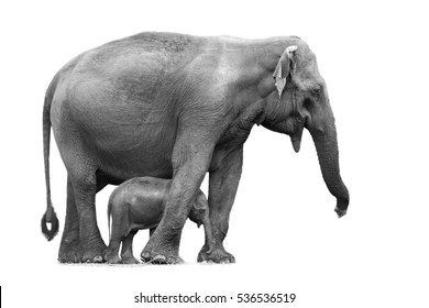 Black and white photo, Sri Lankan elephant, Elephas maximus maximus, mother protecting new-born elephant, isolated on white background. Yala National park, Sri Lanka.