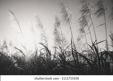 Black and white photo of Sugar canes on day against sun. Mauritius Island. Ile Maurice.