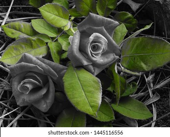 Black and white photo of tea roses with green leaves.