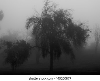 Black and white photo of a trees in a park on a foggy morning.