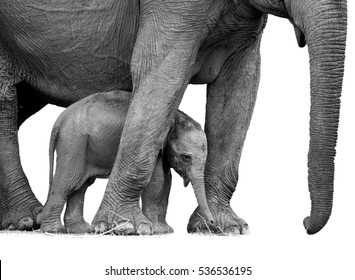 Black and white photo of wild Sri Lankan elephant, Elephas maximus maximus, detail of new-born calf protected by mother. Baby elephant among legs of the mother. Yala National park, Sri Lanka.