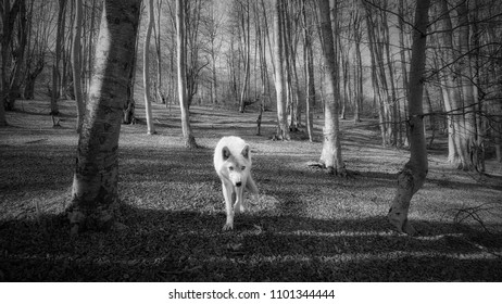Black and white photo of wolf in the forest.