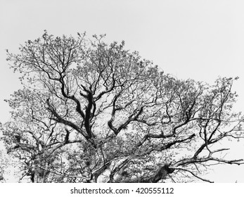 Black and white photograph of a big Mimosa tree silhouettes.