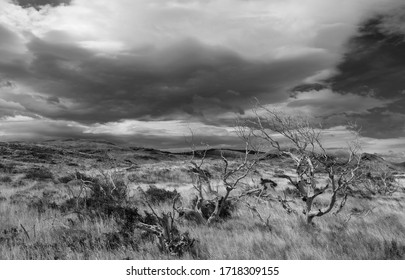 Black and white photograph of dry trees in the typical Patagonia landscape, Torres del Paine, Patagonia, Chile