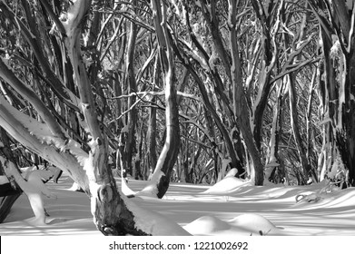 A black and white photograph of a snow covered forest of Australian gum trees. The trees cast shadows on unmarked snow. The scene is deserted.