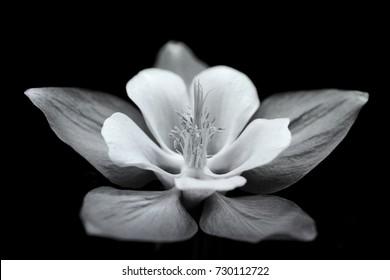 Black & white photography Columbine Aquilegia origami flower, black background