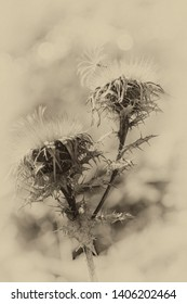 black and white photography sepia-coloured of a dried up carline thistle - Carlina vulgaris. Vintage style.