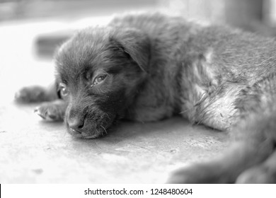 Black and White pic for a 2 month old puppy can not walk Due to illness From eating foods that are toxic.  It's been sick like this for several days.