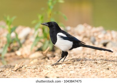 Black and white pica pica in sunshine in nature