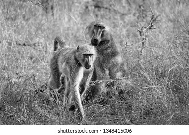 Black and white picture of baboons in the wild