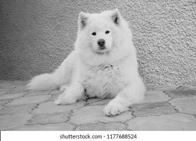 black and white picture of a beautiful white dog. portrait of samoyed